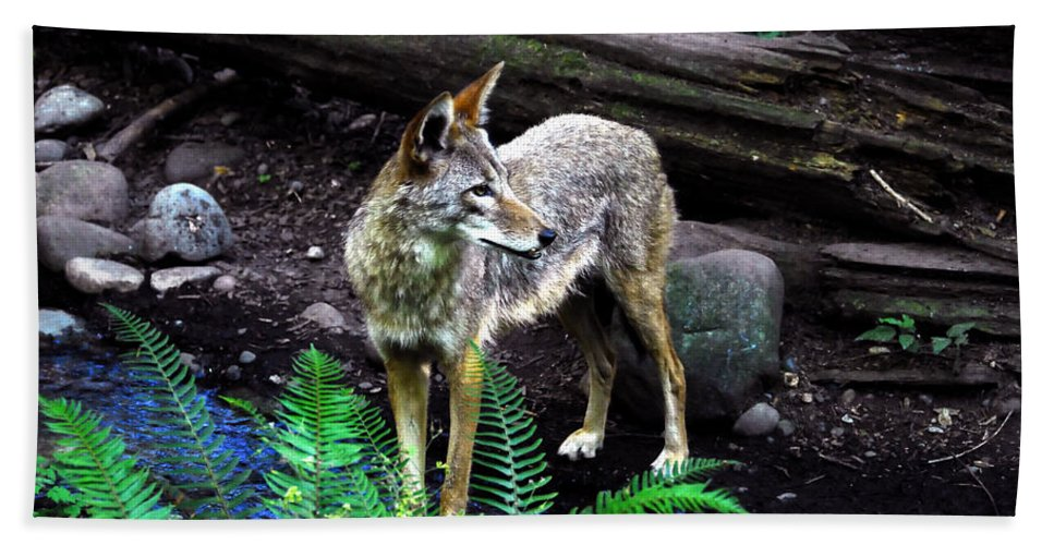 Coyote Hand Towel featuring the photograph Coyote In Mid Stream by David Lee Thompson