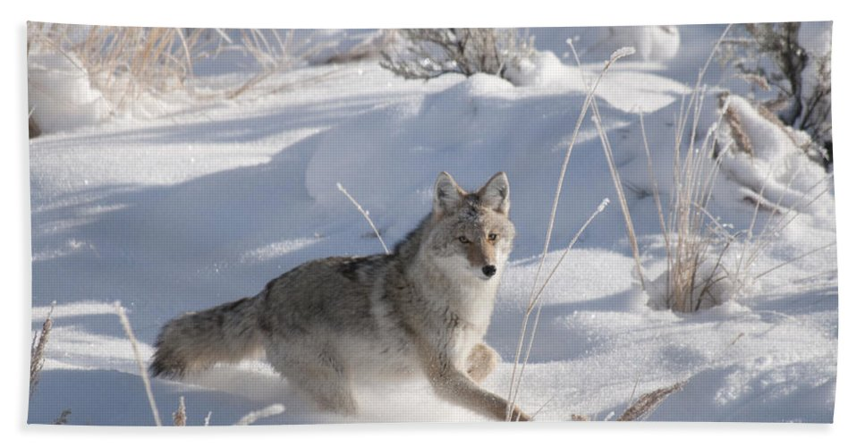 Coyote Bath Sheet featuring the photograph Coyote On The Move by Gary Beeler