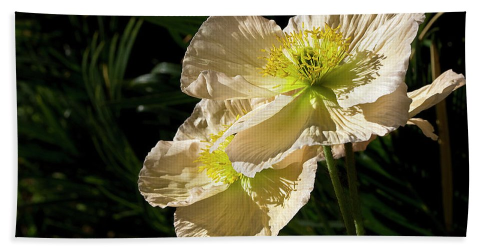 Flower Hand Towel featuring the photograph Creamy Poppies by Phyllis Denton