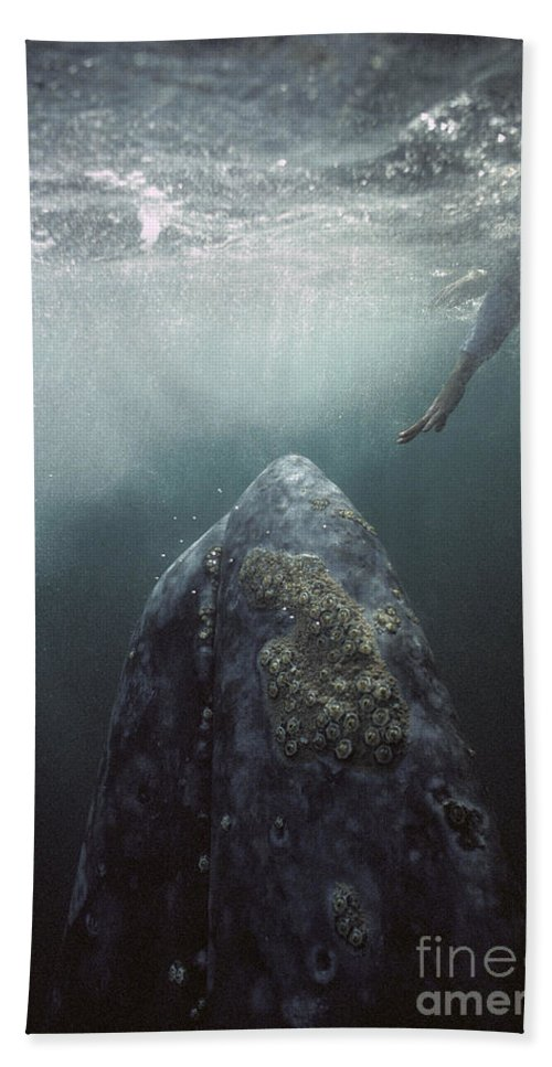 00143390 Bath Towel featuring the photograph Curious Gray Whale and Tourist by Tui De Roy