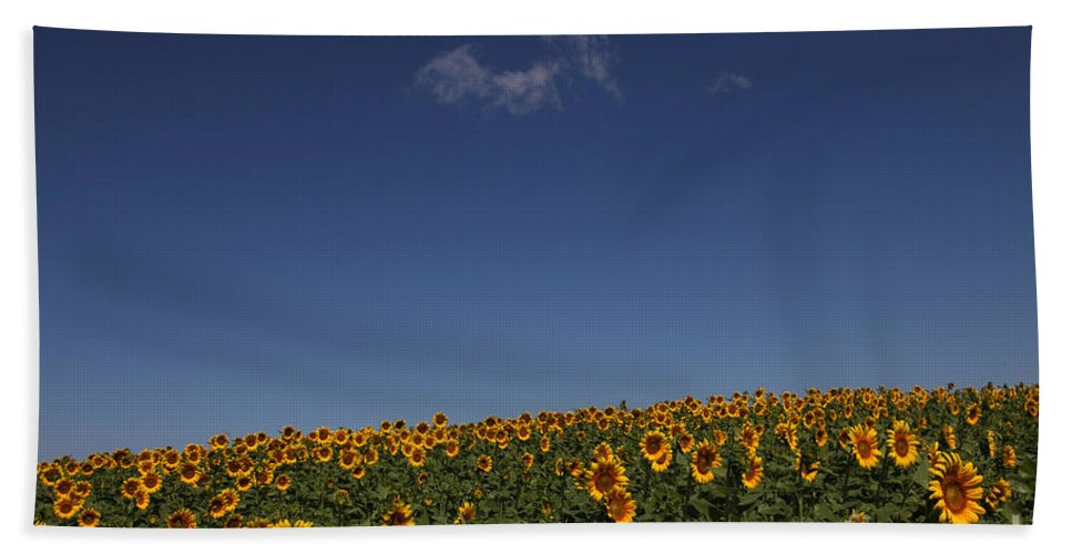Sunflowers Bath Towel featuring the photograph Curvature by Amanda Barcon