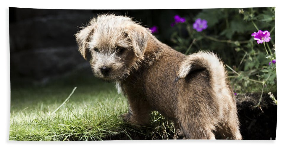 Norfolk Terrier Hand Towel featuring the photograph Cute Dog by Benjamin Langford
