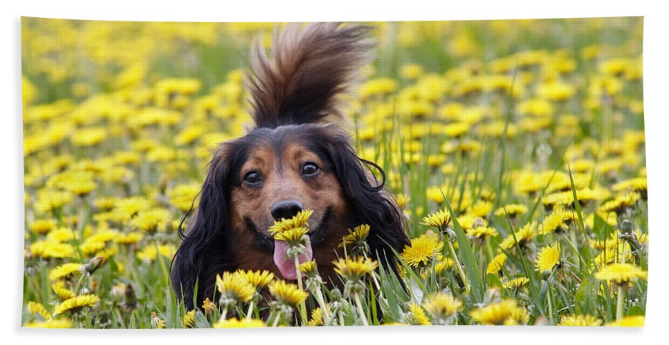 Dachshund Hand Towel featuring the photograph Dachshund On A Meadow In Bloom by Michal Boubin