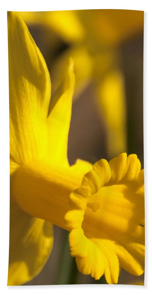 Daffodil Bath Sheet featuring the photograph Daffodil Yellow by Steven Natanson