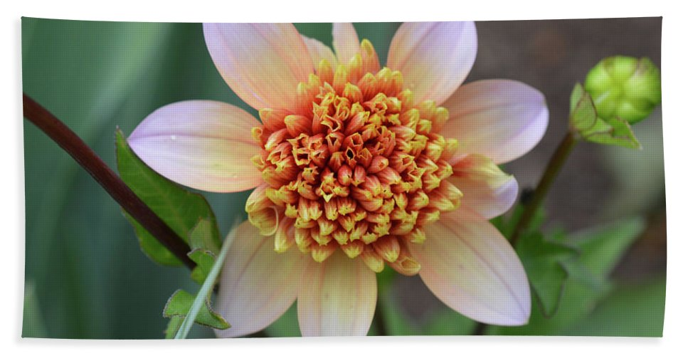 Flower Bath Sheet featuring the photograph Dahlia by MHmarkhanlon