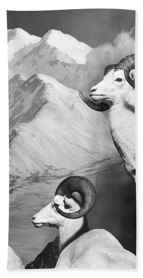20th Century Bath Sheet featuring the photograph Dall Sheep by Granger