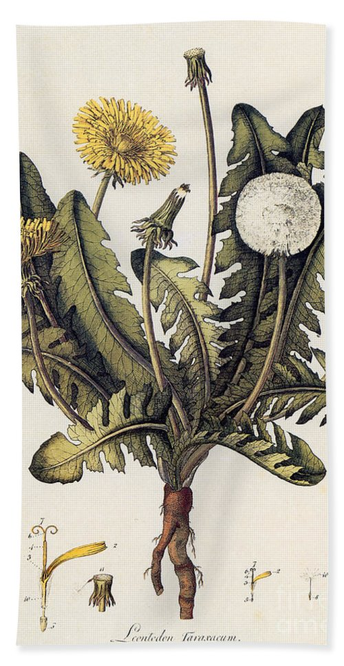18th Century Hand Towel featuring the photograph Dandelion by Granger