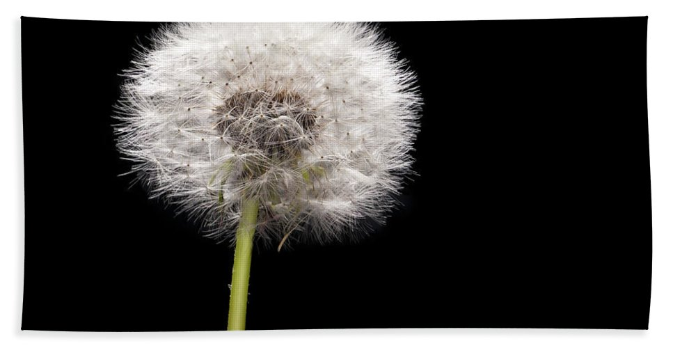 Weed Hand Towel featuring the photograph Dandelion Seedhead by Steve Gadomski