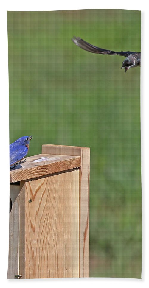 Eastern Bluebird Bath Sheet featuring the photograph Defending The Nest by Mike Dickie