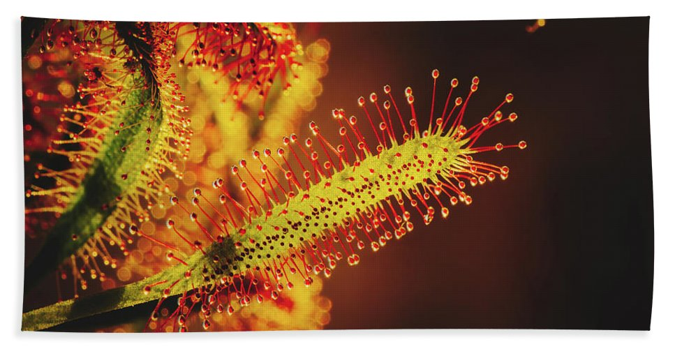 Drosera Hand Towel featuring the photograph Dew Covered Tentacles by Pixabay
