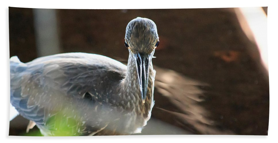 Florida Bath Sheet featuring the photograph Ding Darling - Juvenile Black-crowned Night Heron Looking At You by Ronald Reid