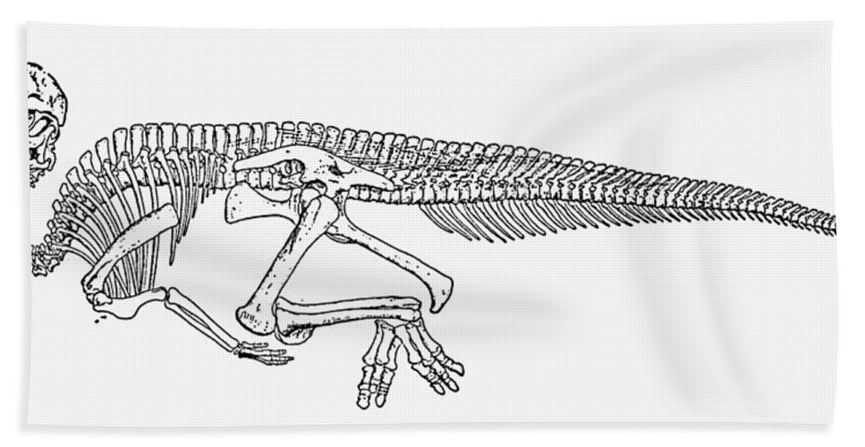 Corythosaurus Bath Sheet featuring the photograph Dinosaur: Corythosaurus by Granger