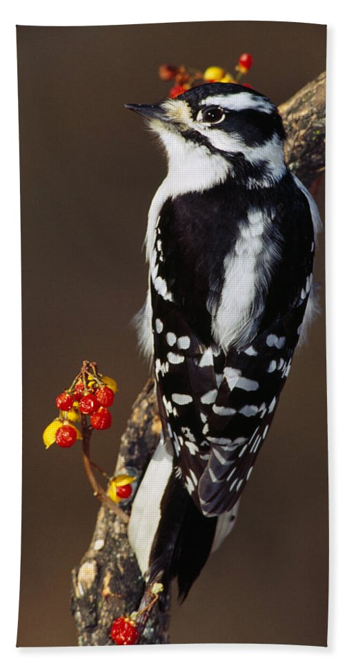 Photography Bath Sheet featuring the photograph Downy Woodpecker On Tree Branch by Panoramic Images