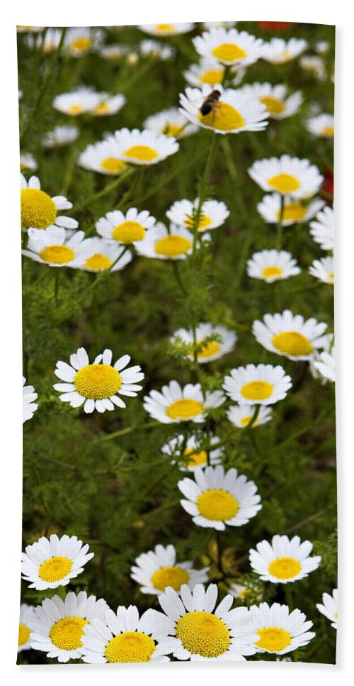 Daisy Hand Towel featuring the photograph Dozens Of Daisies by Marilyn Hunt