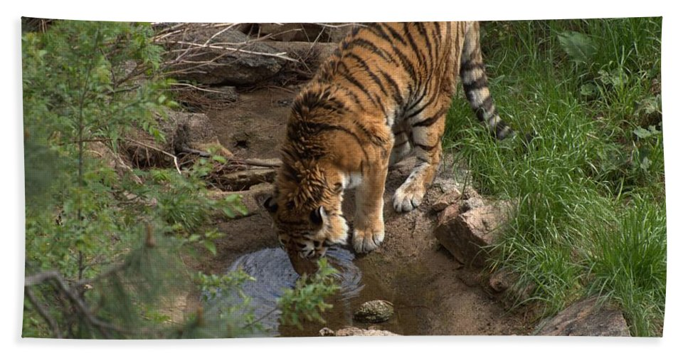 cheyenne Mountain Zoo Hand Towel featuring the photograph Drinking Tiger by Wendy Fox