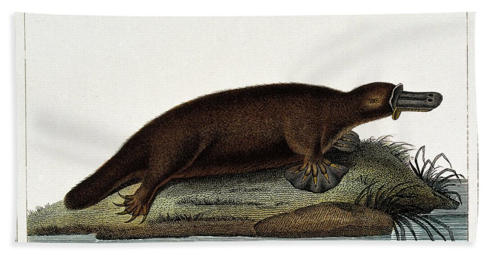 Historic Hand Towel featuring the photograph Duck-billed Platypus Ornithorhynchus by Wellcome Images
