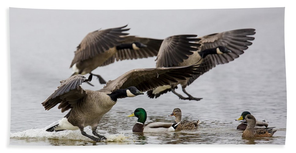 Canada Goose Bath Sheet featuring the photograph Duck Ducks by Randy Hall