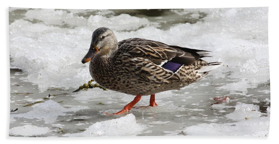 Duck Bath Towel featuring the photograph Duck Walking On Thin Ice by Carol Groenen