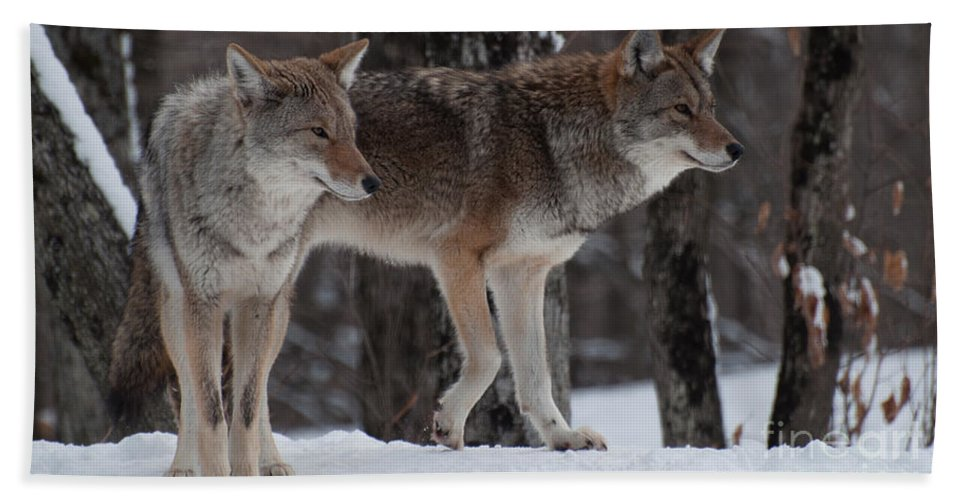 Coyote Hand Towel featuring the photograph Dynamic Duo by Bianca Nadeau