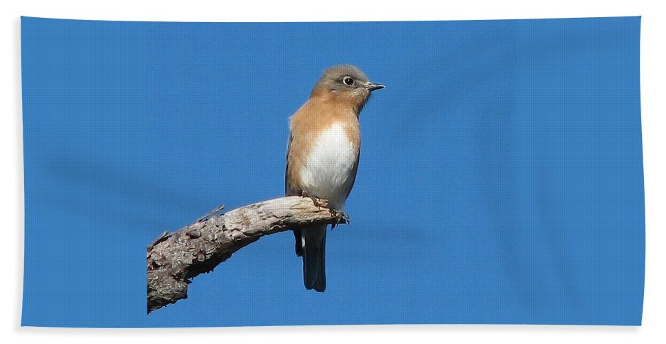 Eastern Bluebird Hand Towel featuring the photograph Eastern Bluebird by J M Farris Photography