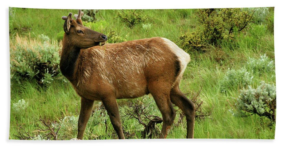 Elk Hand Towel featuring the photograph Elk Doe by Alan Hutchins
