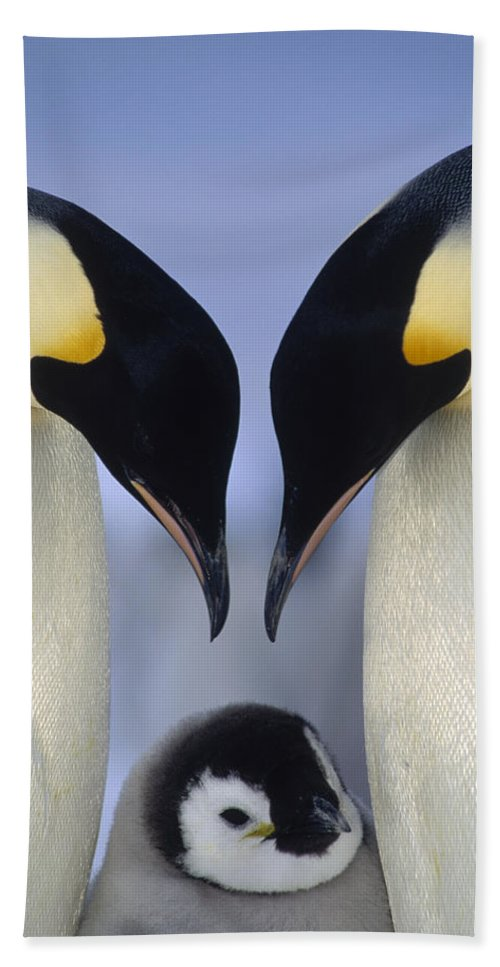 00140140 Bath Towel featuring the photograph Emperor Penguin Family by Tui De Roy