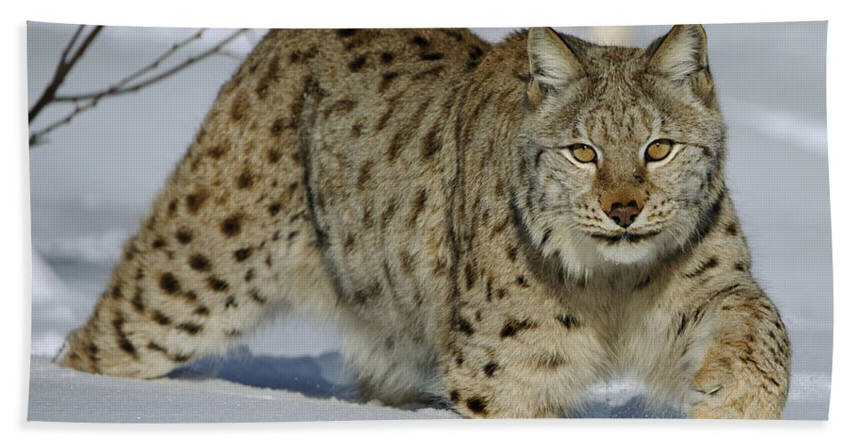 00449625 Hand Towel featuring the photograph Eurasian Lynx In Snow by Willi Rolfes