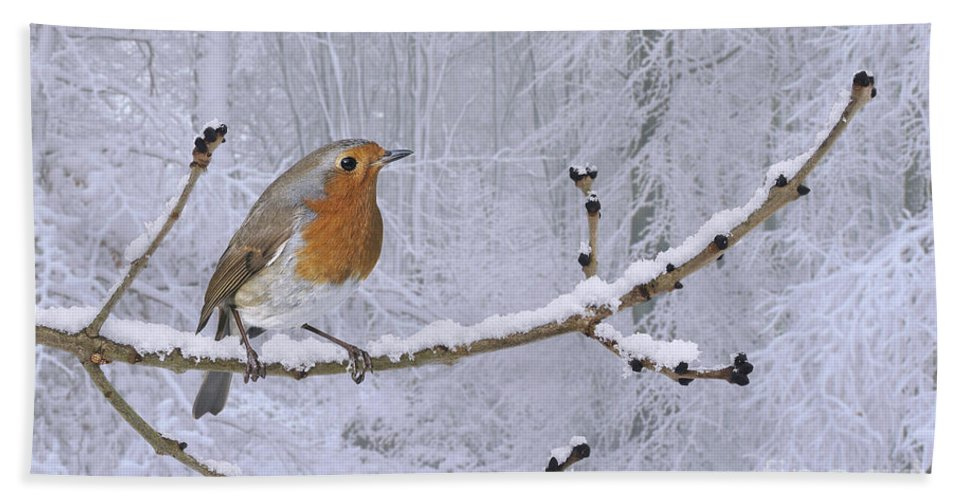 European Robin Hand Towel featuring the photograph European Robin On Snowy Branch by Warren Photographic
