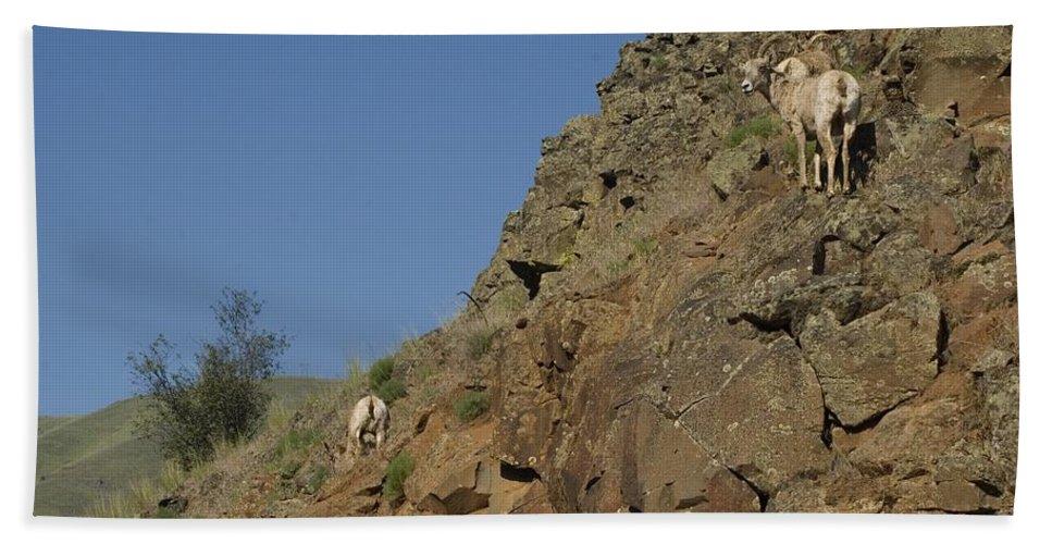 Goat Bath Sheet featuring the photograph Ewe 6 by Sara Stevenson