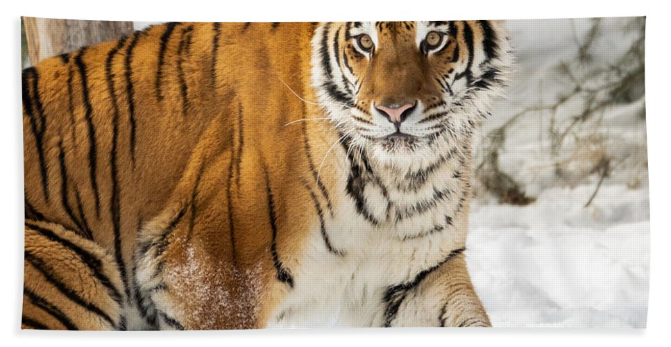 Tiger Hand Towel featuring the photograph Eye Of The Tiger by Elizabeth Waitinas