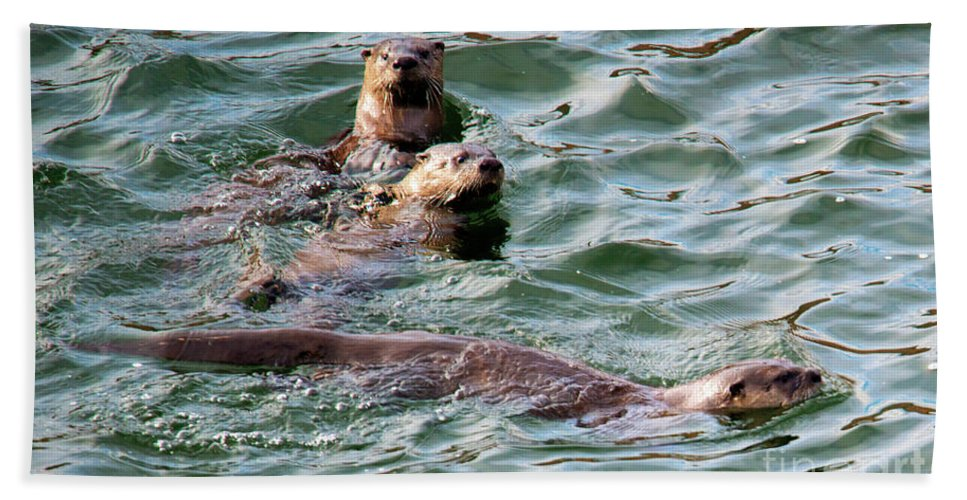 Otters Bath Towel featuring the photograph Family Play Time by Mike Dawson