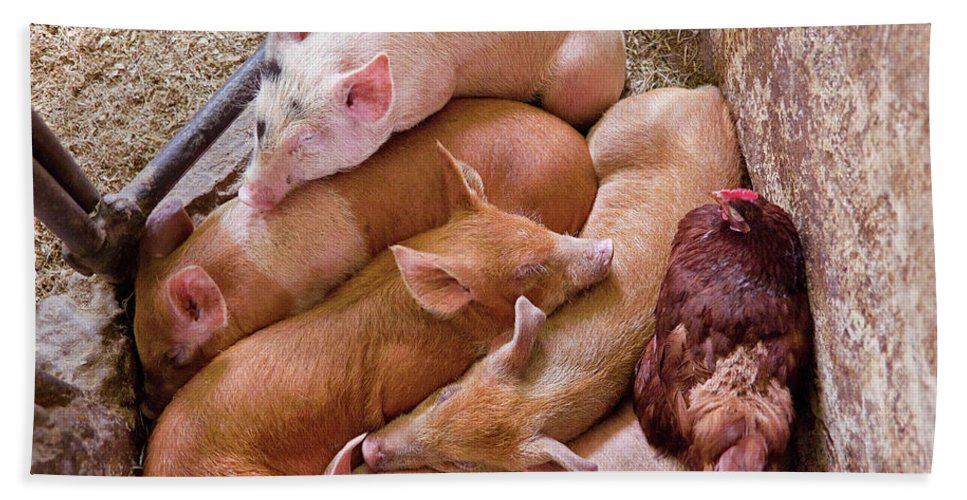 Suburbanscenes Bath Sheet featuring the photograph Farm - Pig - Five Little Piggies And A Chicken by Mike Savad