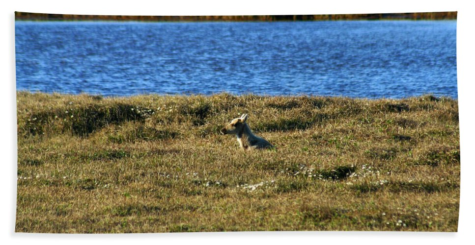 Caribou Bath Towel featuring the photograph Fawn Caribou by Anthony Jones