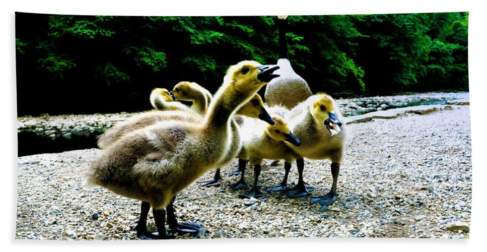 Geese Bath Sheet featuring the photograph Feed Me Seymore - Baby Geese by Bill Cannon