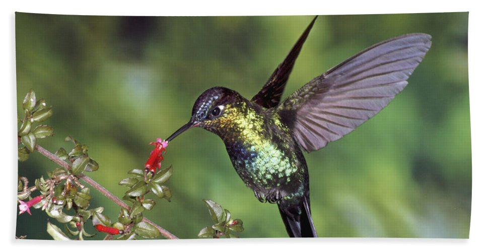 Mp Hand Towel featuring the photograph Fiery-throated Hummingbird Panterpe by Michael & Patricia Fogden