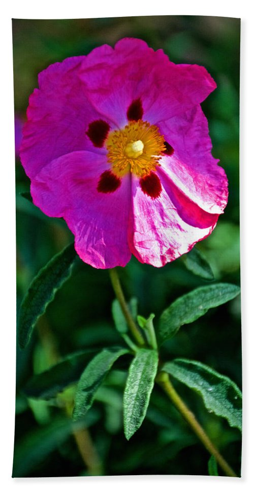 Orchid Rock Rose  At Pilgrim Place In Claremont Hand Towel featuring the photograph Orchid Rock Rose At Pilgrim Place In Claremont-california by Ruth Hager