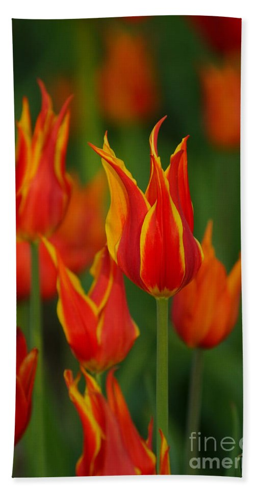 Tulips Hand Towel featuring the photograph Flaming Tulips by Jeffery L Bowers