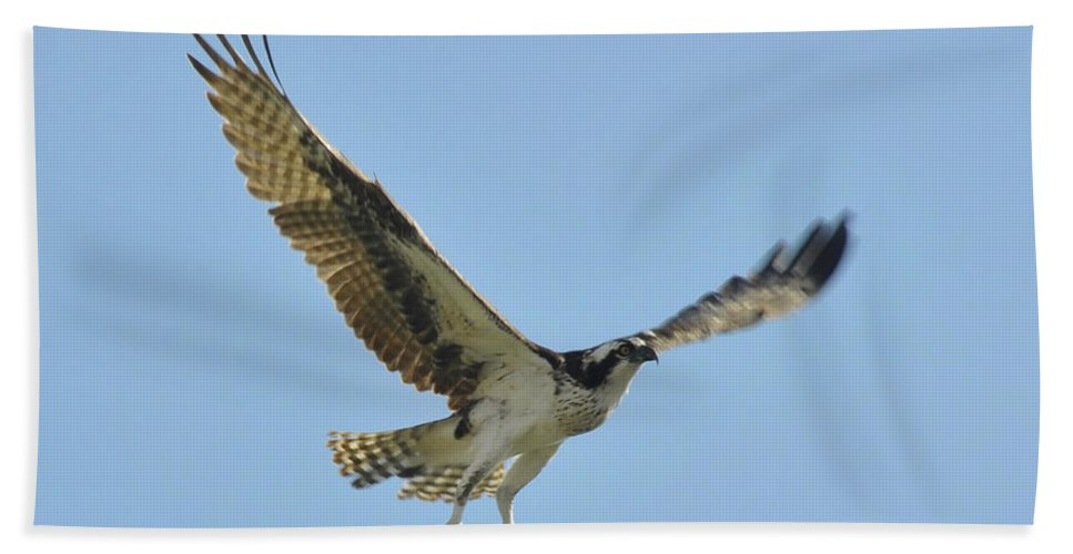 Osprey Bath Sheet featuring the photograph Flight Of The Osprey by David Lee Thompson