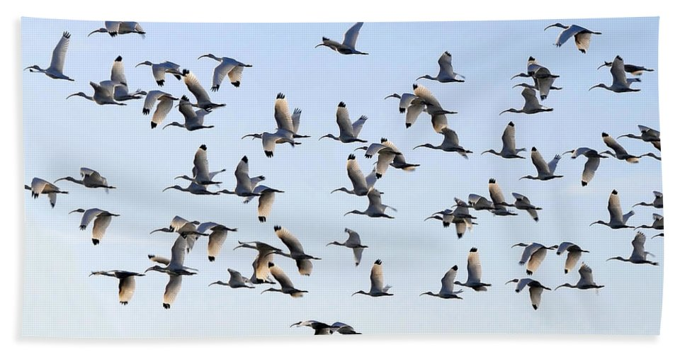 White Ibis Hand Towel featuring the photograph Flight Of The White Ibis by David Lee Thompson