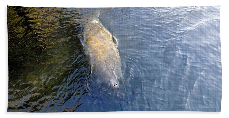 Manatee Hand Towel featuring the photograph Florida Manatee by David Lee Thompson
