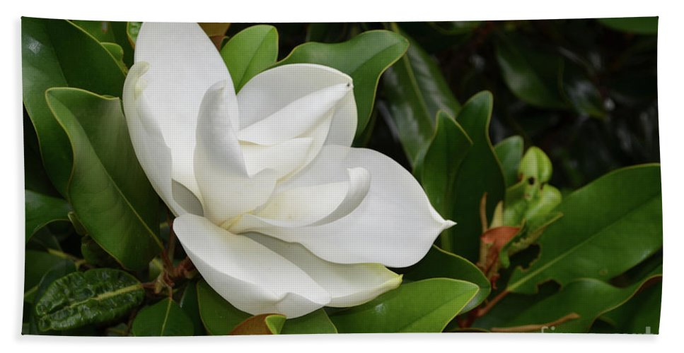 Magnolia Bath Sheet featuring the photograph Flowering White Magnolia Blossom On A Magnolia Tree by DejaVu Designs