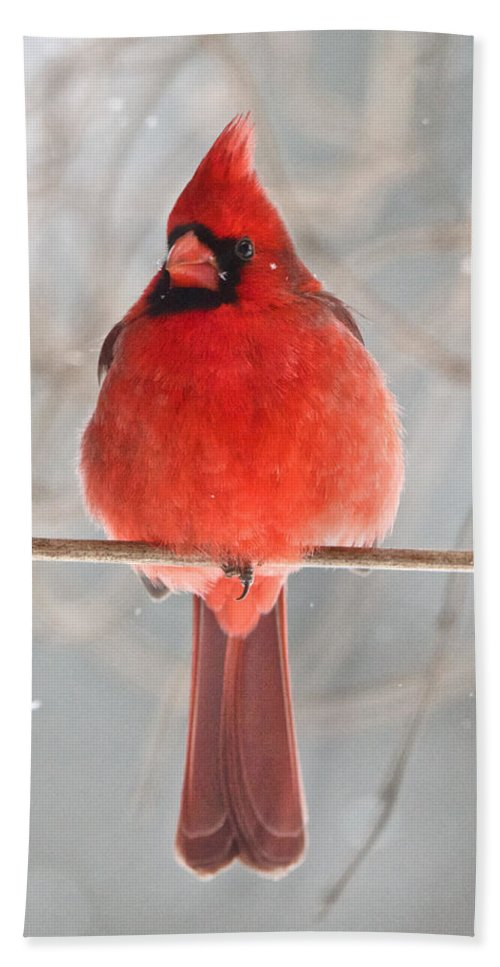 Cardinal Hand Towel featuring the photograph Fluffy by Linda Shannon Morgan