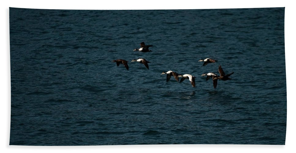 common Eider Bath Sheet featuring the photograph Flying Under The Radar by Paul Mangold