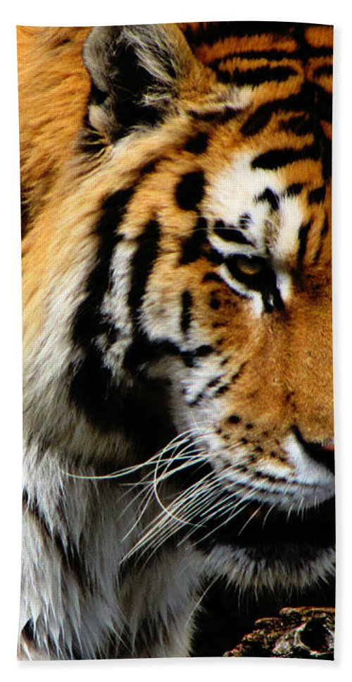 Tiger Bath Sheet featuring the photograph Focused by September Stone