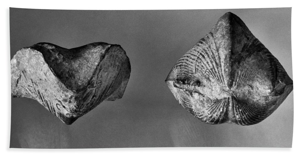 Ancient Bath Sheet featuring the photograph Fossil: Paraspirifer by Granger
