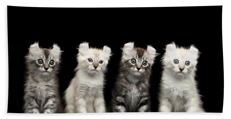 Curl Bath Towel featuring the photograph Four American Curl Kittens with Twisted Ears Isolated Black Background by Sergey Taran