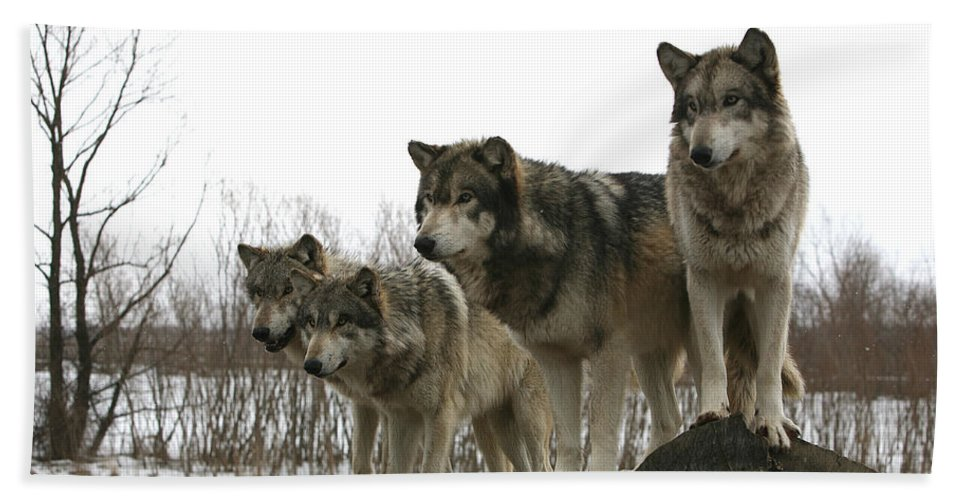 Wolf Wolves Mammals Animals Photography Photograph Winter Wolf Bath Sheet featuring the photograph Four Pack by Shari Jardina