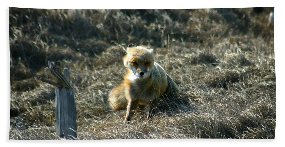 Red Fox Bath Towel featuring the photograph Fox In The Wind by Anthony Jones