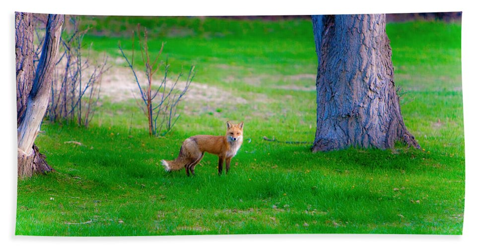 Fox Bath Sheet featuring the photograph Fox Of Boulder County by James BO Insogna