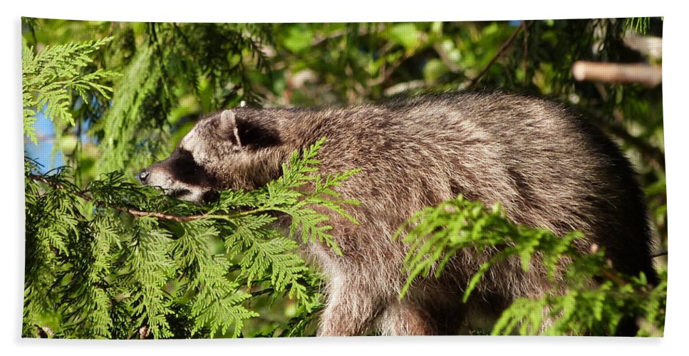 Raccoon Bath Sheet featuring the photograph Friday May 20 2016 by Darrell MacIver